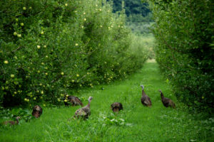 Picture of wild turkeys in apple orchard