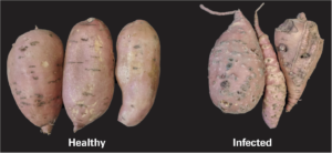 Side-by-side comparison showing non-infected sweet potatoes versus sweet potatoes infected with Guava Root Knot Nematode
