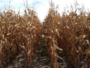 Cover photo for Non-Bt Hybrid Yield Trial Results and Why You Should Plant Non-Bt Corn as Resistance Insurance