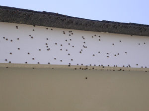 Kudzu bugs on white house trim