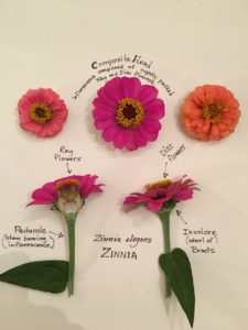 Zinnia with plant parts labeled