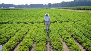 A farmer walking between rows of peanuts in the field