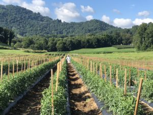 Tomato field at Mountain Research Station