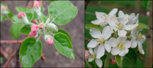 Pink and bloom apple bud stage