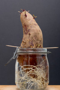 Cover photo for Radical Roots: Sweetpotatoes