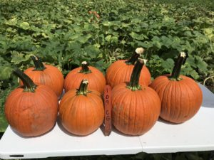 Cover photo for NC & VA Cooperative Extension Collaborate on Eastern Pumpkin Trial