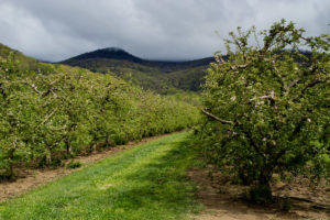 Cover photo for WNC Orchard Insect Pest Populations - April 21, 2020