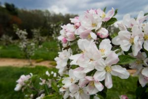 Picture of apple blossoms