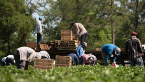 A group of farmworkers are boxing fresh produce in the field and loading into the back of a truck