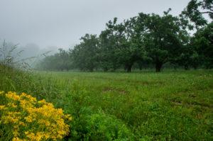 Ragwort flowers beside apple orchardrd