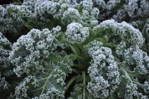 Cover photo for Frost and Freeze Protection for Vegetables