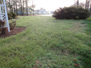 Winter weeds in turfgrasses
