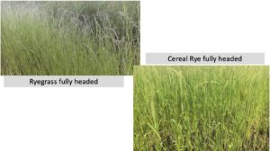 Side by side photos of Ryegrass and Cereal Rye, both in fully headed stage of growth.