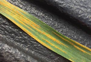 Cover photo for Stripe Rust Alert May 1st, 2020