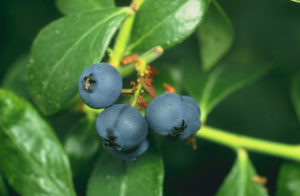Cover photo for Blueberry Guide Available
