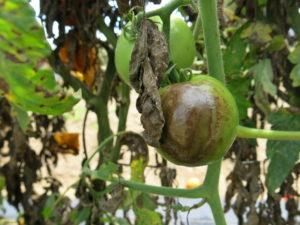 Late blight on tomato fruit