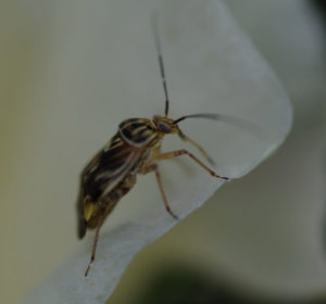 Cover photo for Pre-Bloom Plant Bug Management