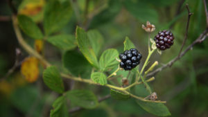 Wild blackberries growing in a forest.
