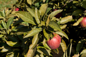 Apple leaves showing bronzing from European red mite feeding