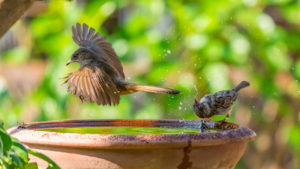 One bird perched on a birdbath rim while another bird flies close to the water surface