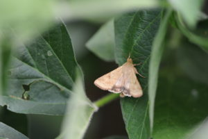 Cover photo for Bollworm Flight Beginning in Some Locations