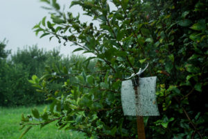 Apple trap in rainy, windy orchard