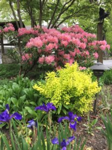 Rhododendron and Iris in bloom.