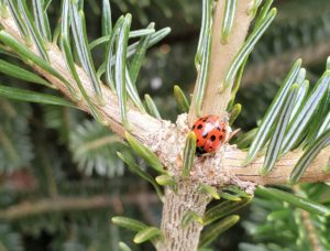 Cover photo for Biological Control in Christmas Trees