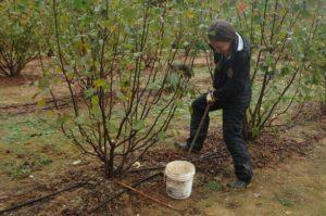 woman digging soil from beneath a filbert tree