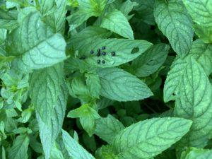 caterpillar frass