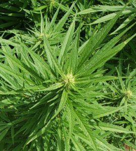 hemp, CBD, variety, cultivar, growth, fan leaves, apical flower