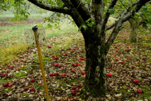 Stink bug trap in apple orchard, late season