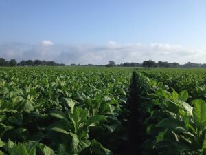 Cover photo for 2020 Tobacco Variety Overview & Selection Webinar