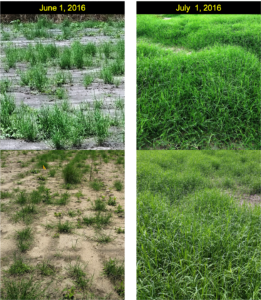 Cover photo for Research Brief: Evaluation of Sprigged Bermudagrass Cultivars in Spray Fields