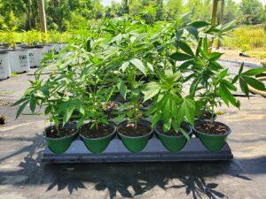 Hemp plants in small pots