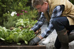 senior adult picking lettuce