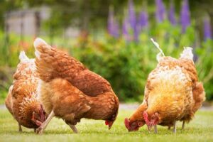 Three chickens pecking at ground
