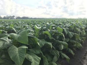 Cover photo for From the Field - Agronomy Notes: Vol. 6, Num. 4