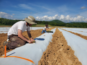 two people planting hemp plants in raised beds with white plastic