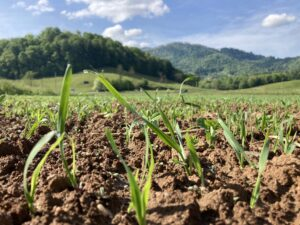 cover crops emerging in field