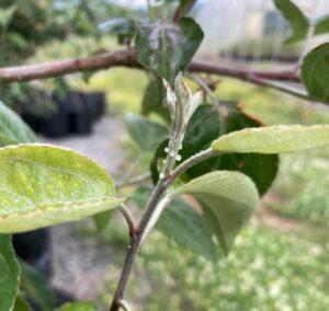 Ooze on apple shoot
