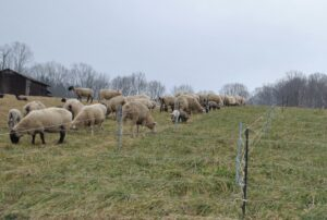 Cover photo for Friday Spotlight: Brasfield Club Lambs and Dorsets