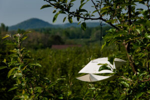 Cover photo for WNC Orchard Insect Pest Populations - June 2, 2021