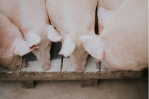 Cover photo for Reducing Summer Heat Stress on Hogs