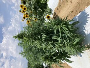 A compact floral hemp plant with sunflowers