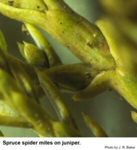 Cover photo for PEST ALERT- Spruce Spider Mite