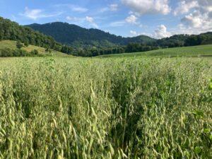 milk oats growing in a mountain field