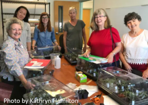 Master Gardener volunteers display their newly grafted tomato plants