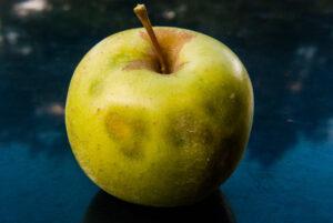 Brown marmorated stink bug damage on apple