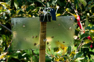 Brown marmorated stink bug trap